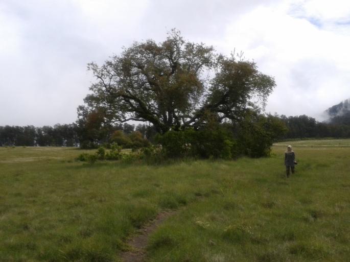 Pohon Cikasur